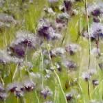 Champ de phacelie - Peinture au Pastel sec par l'artiste peintre Isabelle Douzamy - 40x50cm